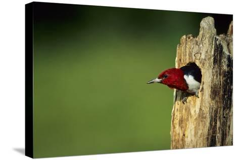 Red-Headed Woodpecker in Nest Cavity, Illinois-Richard and Susan Day-Stretched Canvas Print