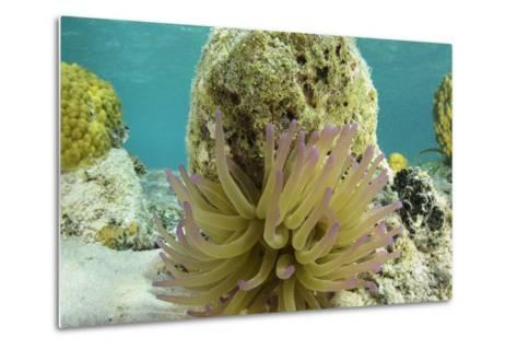 Giant Anemone, Lighthouse Reef, Atoll, Belize-Pete Oxford-Metal Print