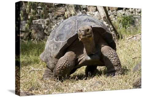 Giant Tortoise in Highlands of Floreana Island, Galapagos Islands-Diane Johnson-Stretched Canvas Print