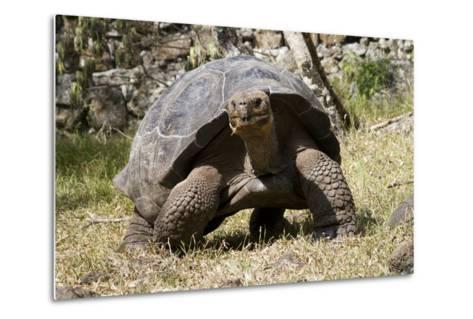 Giant Tortoise in Highlands of Floreana Island, Galapagos Islands-Diane Johnson-Metal Print