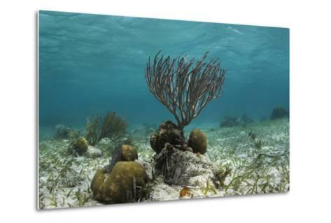 Porous Sea Rods, Hol Chan Marine Reserve, Belize-Pete Oxford-Metal Print