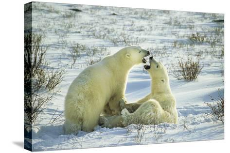 Polar Bears Sparring, Churchill, Manitoba, Canada-Richard and Susan Day-Stretched Canvas Print