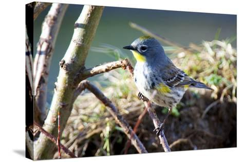 The Audubon's Warbler Is a Small New World Warbler-Richard Wright-Stretched Canvas Print
