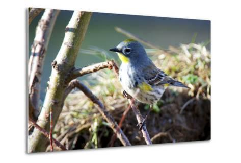 The Audubon's Warbler Is a Small New World Warbler-Richard Wright-Metal Print