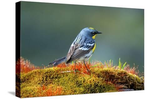 The Audubon's Warbler-Richard Wright-Stretched Canvas Print