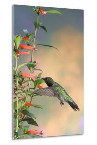 Ruby-Throated Hummingbird Male on Cigar Plant, Marion County, Illinois-Richard and Susan Day-Metal Print