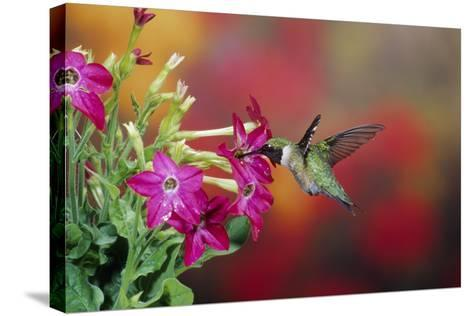Ruby-Throated Hummingbird Male at Hummingbird Rose Pink Nicotiana, Illinois-Richard and Susan Day-Stretched Canvas Print