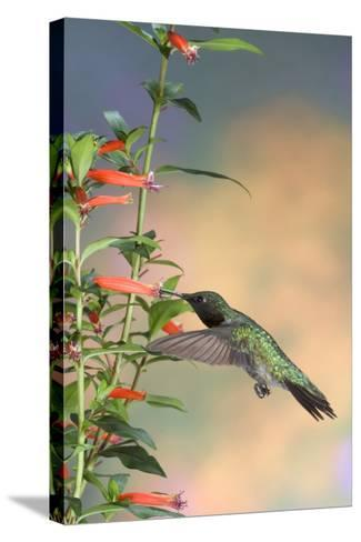Ruby-Throated Hummingbird Male on Cigar Plant, Marion County, Illinois-Richard and Susan Day-Stretched Canvas Print