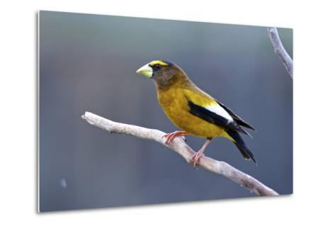 The Evening Grosbeak Is a Passerine Bird in the Finch Family Fringillidae-Richard Wright-Metal Print