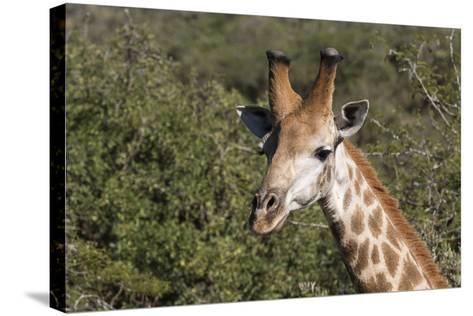 South Africa, Durban, Tala Game Reserve. Giraffe, Head Detail, Male-Cindy Miller Hopkins-Stretched Canvas Print
