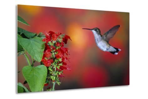 Ruby-Throated Hummingbird on Scarlet Sage Marion County, Illinois-Richard and Susan Day-Metal Print
