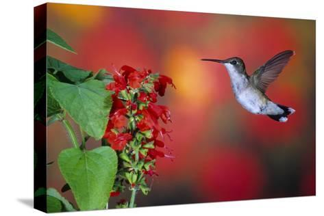 Ruby-Throated Hummingbird on Scarlet Sage Marion County, Illinois-Richard and Susan Day-Stretched Canvas Print