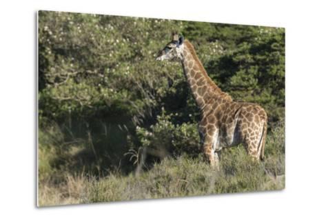 South Africa, Eastern Cape, East London. Inkwenkwezi Game Reserve-Cindy Miller Hopkins-Metal Print