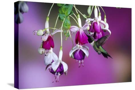 Ruby-Throated Hummingbird Male at Hybrid Fuchsia. Shelby County, Illinois-Richard and Susan Day-Stretched Canvas Print