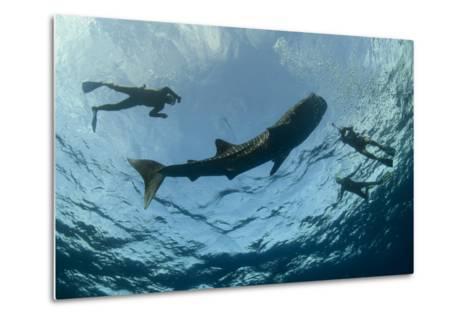 Whale Shark and Tourist. Cenderawasih Bay, West Papua, Indonesia-Pete Oxford-Metal Print