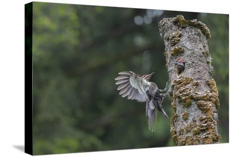 Washington, Male Pileated Woodpecker Flies to Nest in Alder Snag, with Begging Chick-Gary Luhm-Stretched Canvas Print