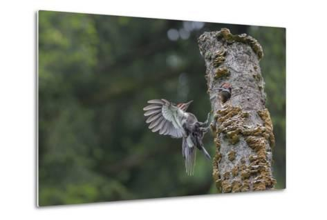 Washington, Male Pileated Woodpecker Flies to Nest in Alder Snag, with Begging Chick-Gary Luhm-Metal Print