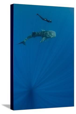Whale Shark and Tourist. Cenderawasih Bay, West Papua, Indonesia-Pete Oxford-Stretched Canvas Print