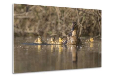 Washington, Mallard Hen with Ducklings on the Shore of Lake Washington-Gary Luhm-Metal Print