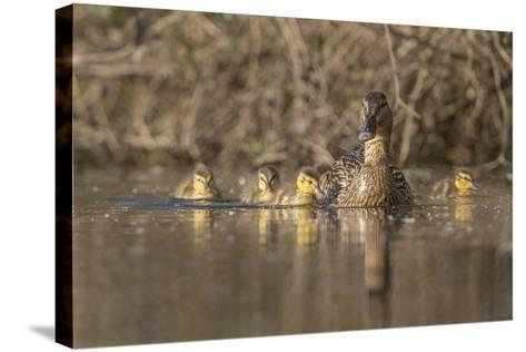 Washington, Mallard Hen with Ducklings on the Shore of Lake Washington-Gary Luhm-Stretched Canvas Print
