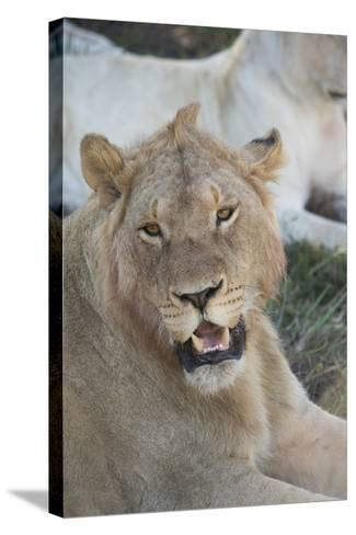 South Africa, Eastern Cape, East London. Inkwenkwezi Game Reserve. Young Male Lion-Cindy Miller Hopkins-Stretched Canvas Print