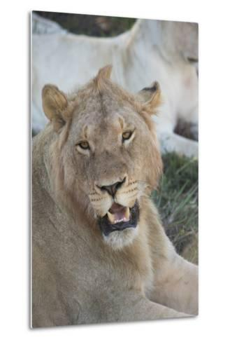 South Africa, Eastern Cape, East London. Inkwenkwezi Game Reserve. Young Male Lion-Cindy Miller Hopkins-Metal Print