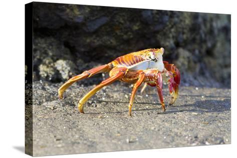 Sally Lightfoot Crab on Floreana Island, Galapagos Islands-Diane Johnson-Stretched Canvas Print