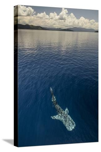 Whale Shark, Cenderawasih Bay, West Papua, Indonesia-Pete Oxford-Stretched Canvas Print