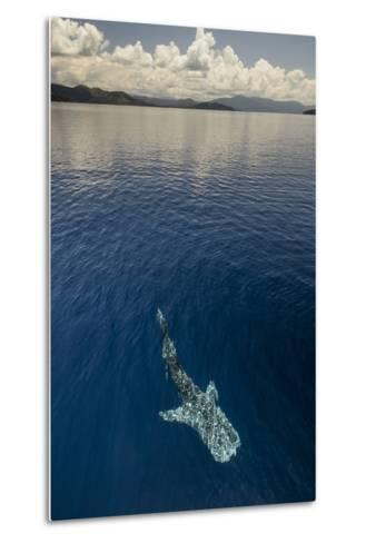 Whale Shark, Cenderawasih Bay, West Papua, Indonesia-Pete Oxford-Metal Print