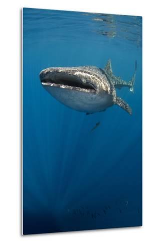 Whale Shark, Cenderawasih Bay, West Papua, Indonesia-Pete Oxford-Metal Print
