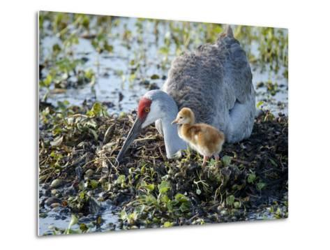 Sandhill Crane on Nest with 2 Day Old Colt, Waiting on Second Egg to Hatch, Florida-Maresa Pryor-Metal Print
