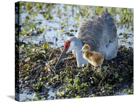Sandhill Crane on Nest with 2 Day Old Colt, Waiting on Second Egg to Hatch, Florida-Maresa Pryor-Stretched Canvas Print