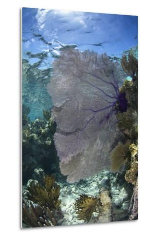 Venus Sea Fan, Lighthouse Reef, Atoll, Belize-Pete Oxford-Metal Print