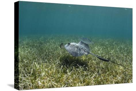 Southern Stingray and Bar Jack, Belize Barrier Reef, Belize-Pete Oxford-Stretched Canvas Print