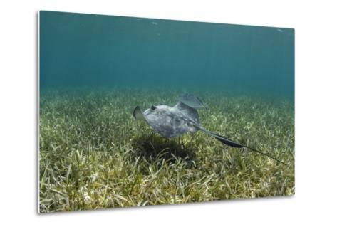 Southern Stingray and Bar Jack, Belize Barrier Reef, Belize-Pete Oxford-Metal Print