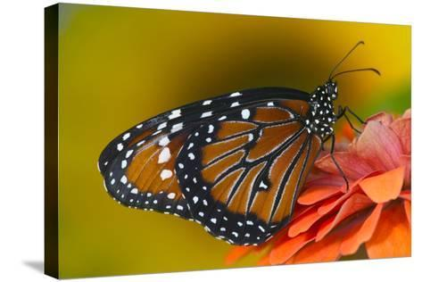 Queen Butterfly-Darrell Gulin-Stretched Canvas Print