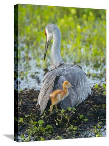 Sandhill Crane on Nest with Colt under Wing, Florida-Maresa Pryor-Stretched Canvas Print