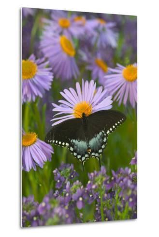 Spicebush Swallowtail-Darrell Gulin-Metal Print