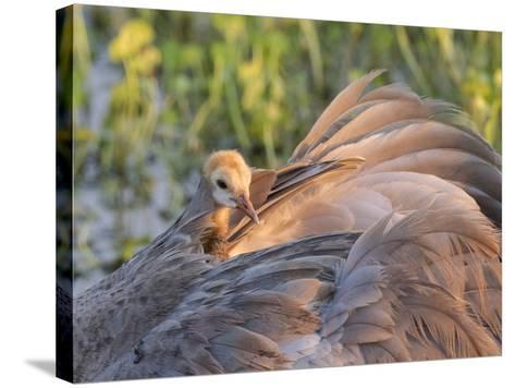 Sandhill Crane on Nest with Baby on Back, Florida-Maresa Pryor-Stretched Canvas Print