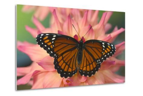Viceroy Butterfly a Mimic of the Monarch Butterfly-Darrell Gulin-Metal Print