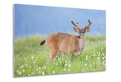 Washington, Olympic National Park. A Black-Tailed Buck in Velvet Feeds on Subalpine Wildflowers-Gary Luhm-Metal Print