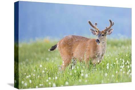 Washington, Olympic National Park. A Black-Tailed Buck in Velvet Feeds on Subalpine Wildflowers-Gary Luhm-Stretched Canvas Print
