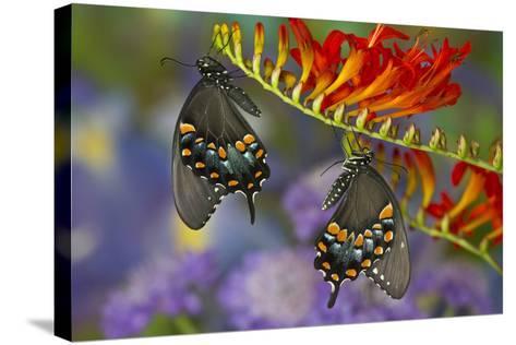 Spicebush Swallowtail-Darrell Gulin-Stretched Canvas Print