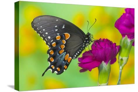Spicebush Swallowtail Butterfly-Darrell Gulin-Stretched Canvas Print