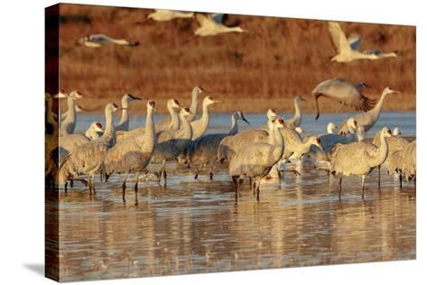 Sandhill Cranes Morning Liftoff, Bosque Del Apache National Wildlife Refuge, New Mexico-Maresa Pryor-Stretched Canvas Print