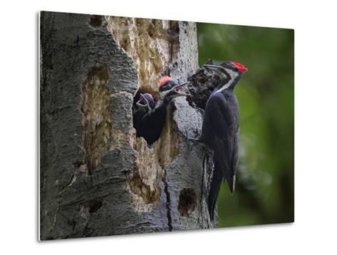 Washington, Female Pileated Woodpecker Aside Nest in Snag with Two Begging Chicks-Gary Luhm-Metal Print