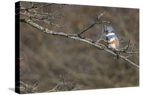 Washington, Female Belted Kingfisher on a Perch-Gary Luhm-Stretched Canvas Print