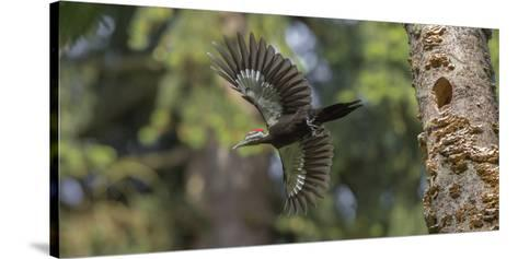 Washington, Female Pileated Woodpecker Flies from Nest in Alder Snag-Gary Luhm-Stretched Canvas Print