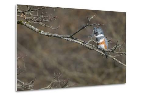 Washington, Female Belted Kingfisher on a Perch-Gary Luhm-Metal Print