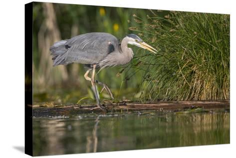 Washington, Great Blue Heron Stalks for Food on Union Bay, Lake Washington, Seattle-Gary Luhm-Stretched Canvas Print